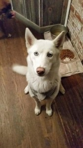 one year old white husky with blue eyes